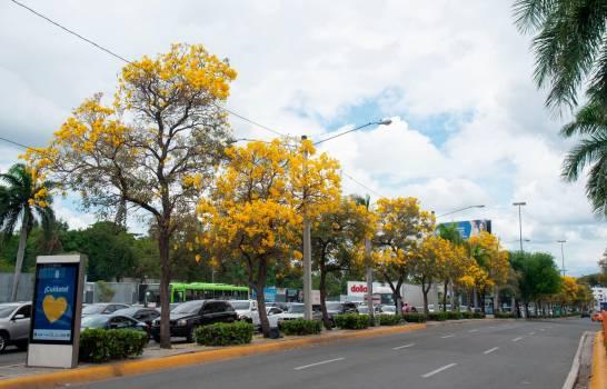 Robles-amarillos-Diario-Libre.jpg